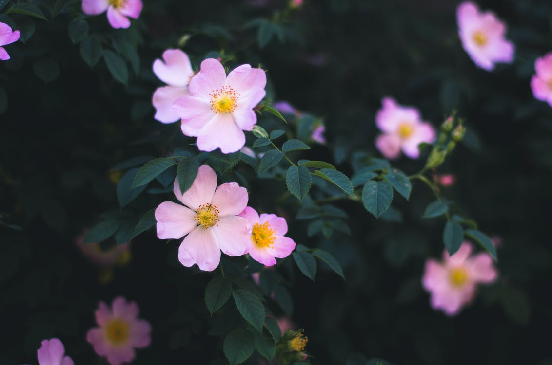 Free stock photo of bush, flower, flowers