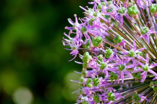 Fotobanka sbezplatnými fotkami na tému kvet, purpurová, zelená