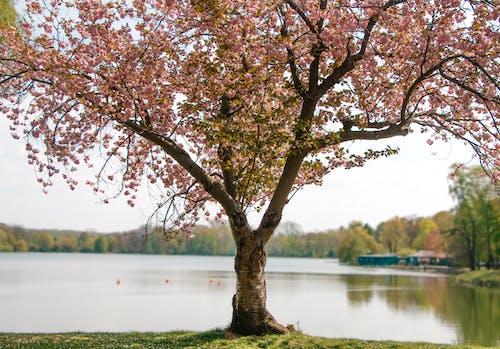 Free stock photo of spring flower, tree