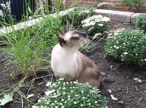 Free stock photo of cats, cat, siamese