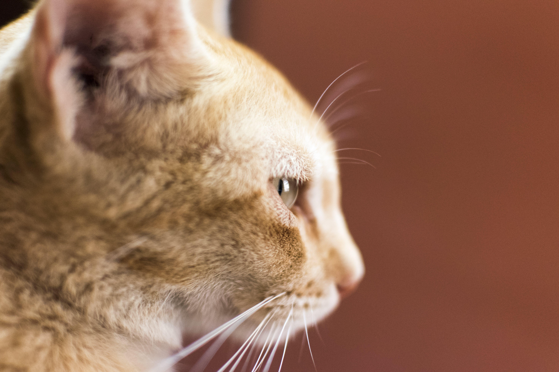 Foto profissional grátis de adorável, animal, animal de estimação, bigodes de gato