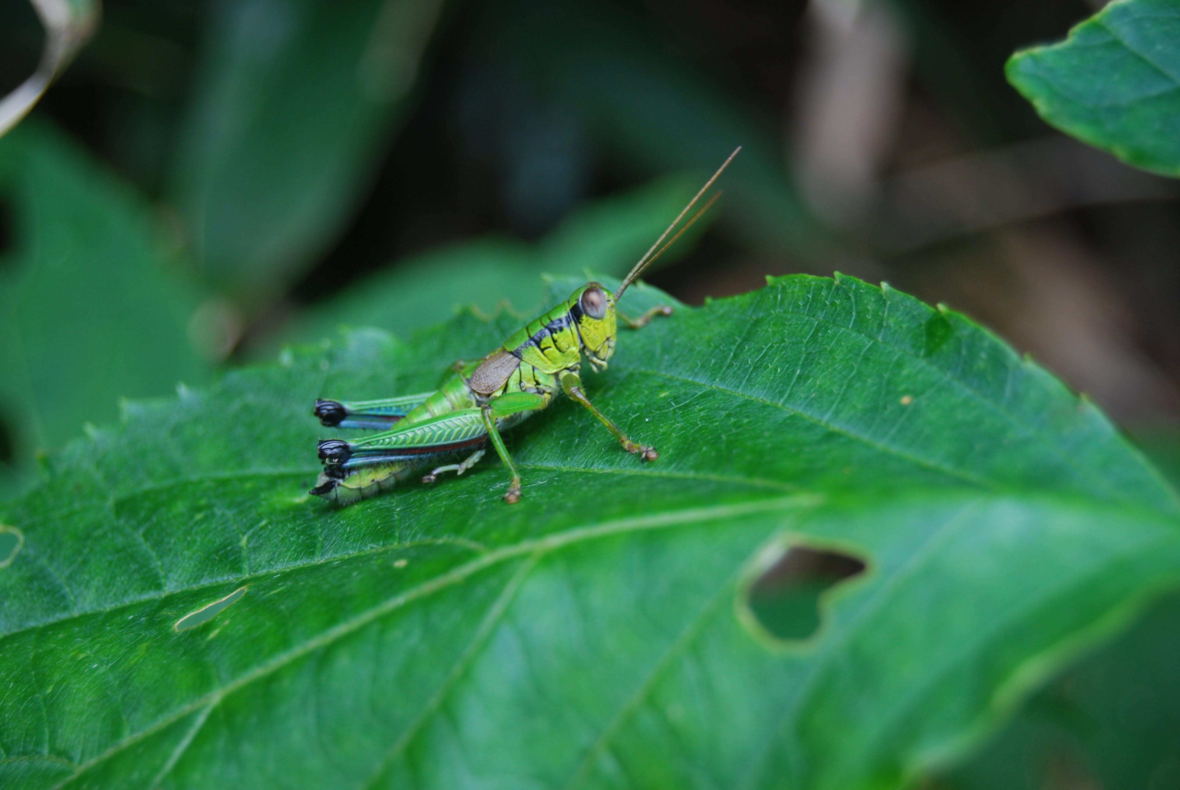 Selective Focus Photography of Grasshopper on Leaf