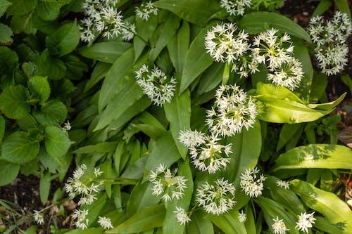 Imagine de stoc gratuită din arc, floarea de usturoi, flori