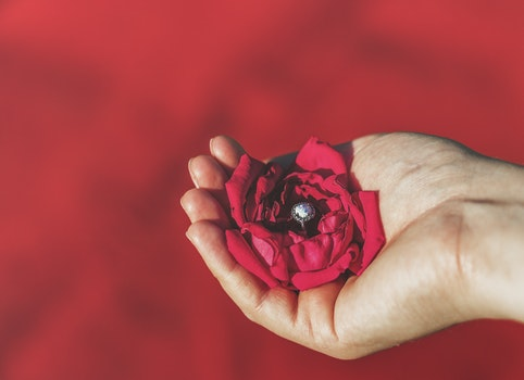 Free stock photo of red, love, hand, petals