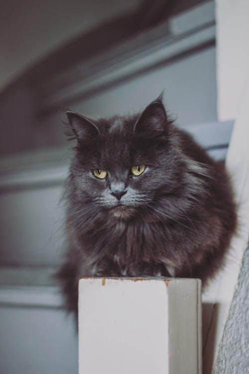 Fotos de stock gratuitas de adentro, animal, bigotes, cara de gato