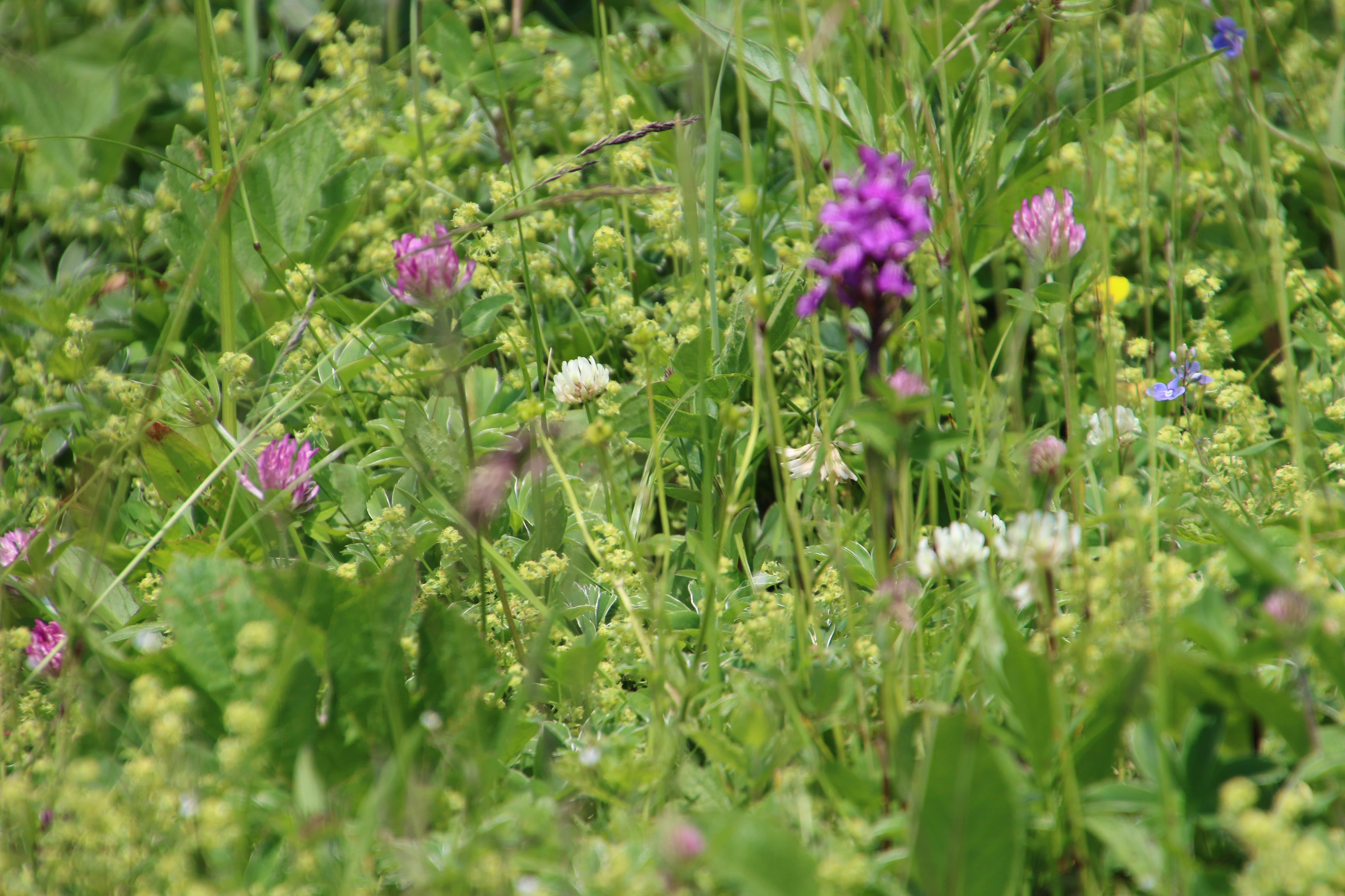 Free stock photo of field, purple, garden, mountain