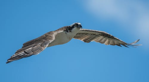 Gratis arkivbilde med osprey bird wing flight