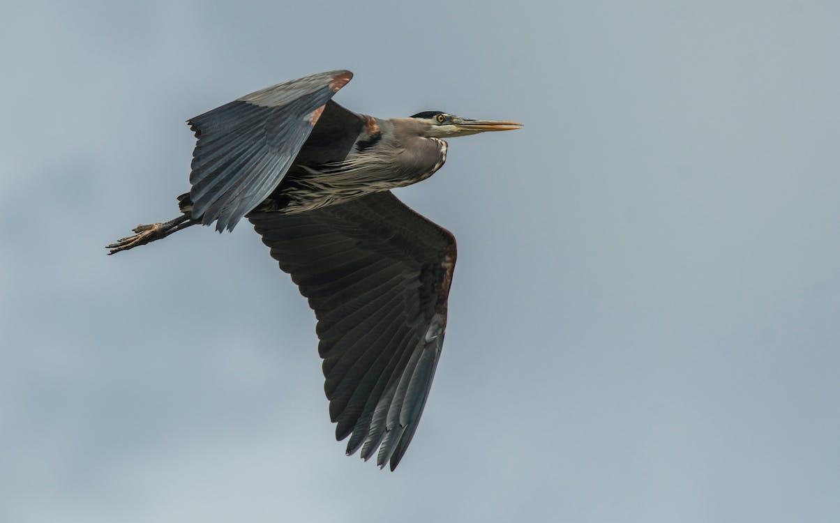 蒼鷺鳥翅膀飛翔