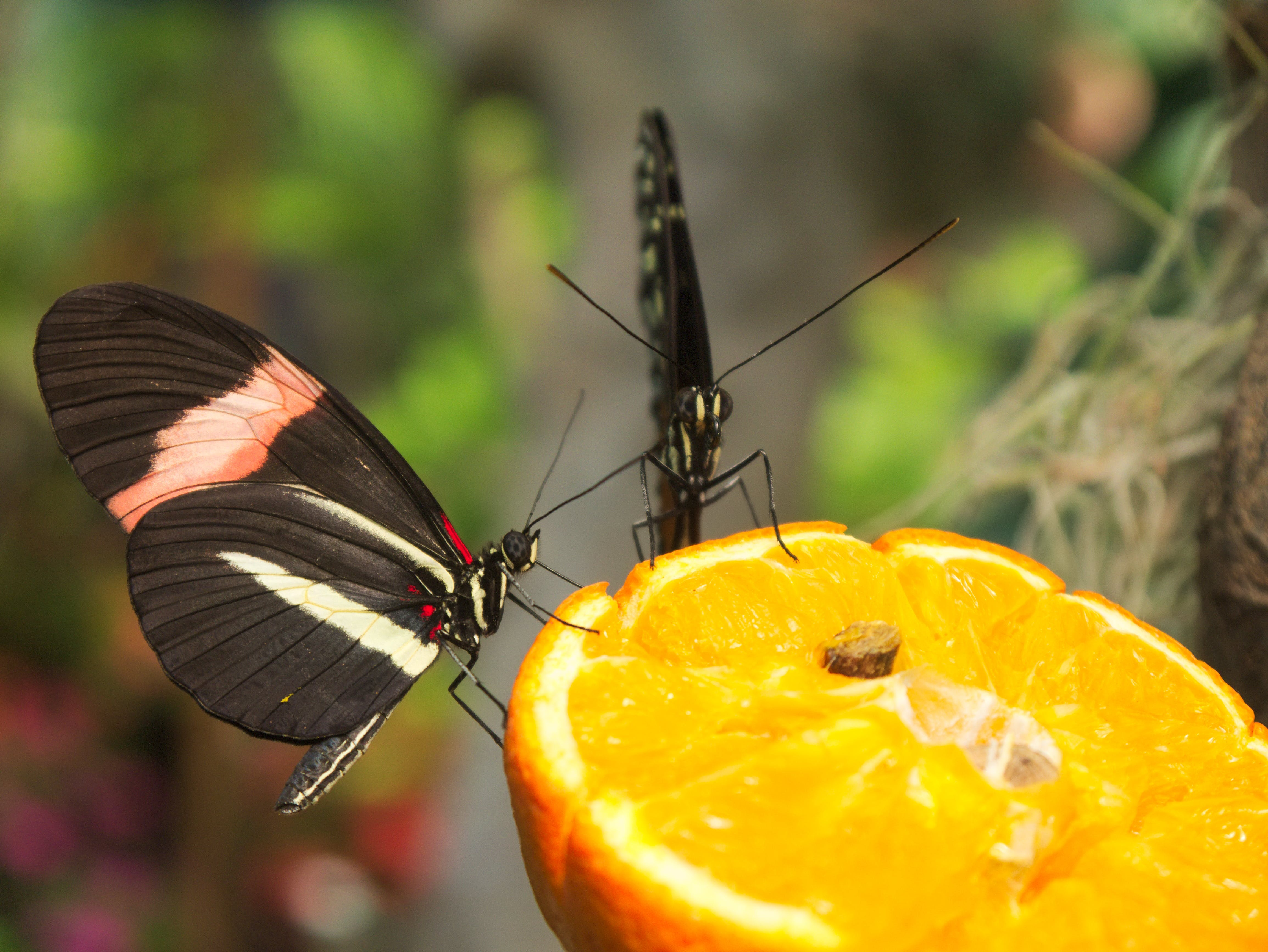 Free stock photo of butterfly, orange