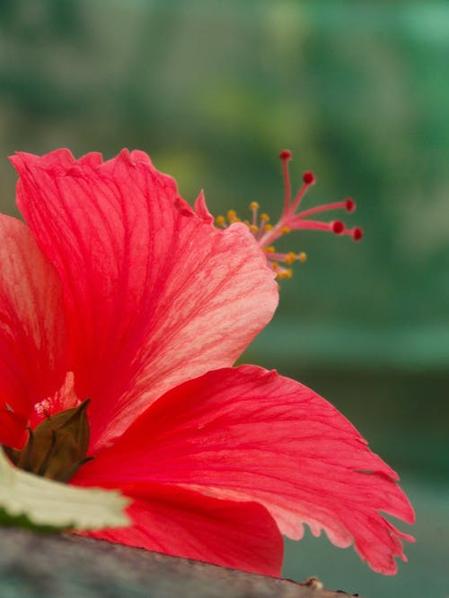 Fotos de stock gratuitas de flor roja, hermosa flor, imagen de fondo