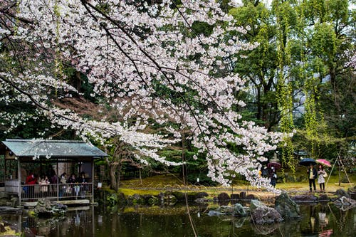 Free stock photo of cherry blossom, cherry blossoms, japan