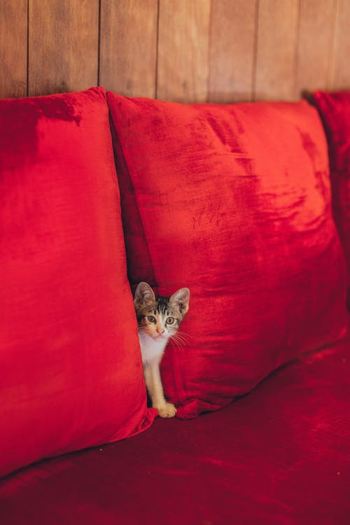 Funny curious little kitten hiding between red pillows on comfortable sofa and looking at camera
