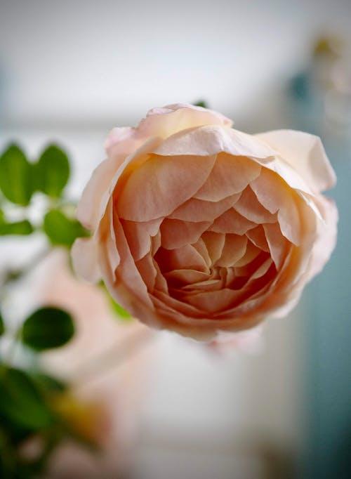 Fresh fragrant English rose in vase