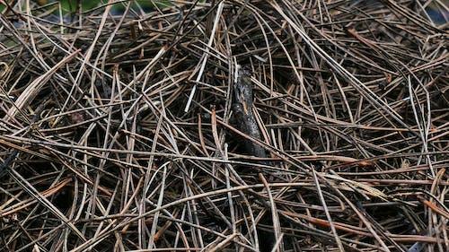 Free stock photo of drzewa iglaste, igły, ściółka