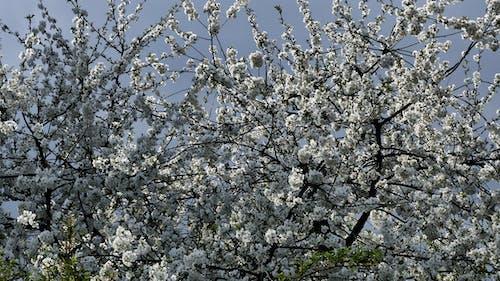 Free stock photo of biały, biały kwiat, kwiat
