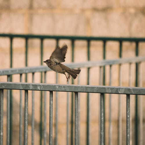Sparrow taking off from metal fence