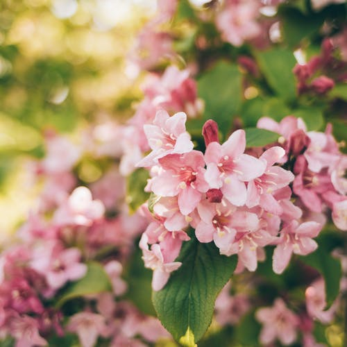 Amazing blooming Weigela florida flowering shrub