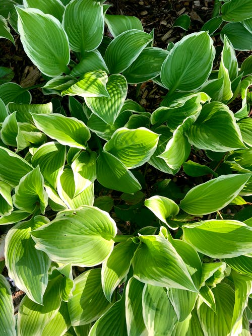 Free stock photo of big leaves, green, green leaves