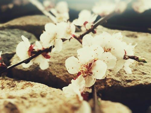 Fotobanka sbezplatnými fotkami na tému čerešňa, kvety, kvety ovocných stromov