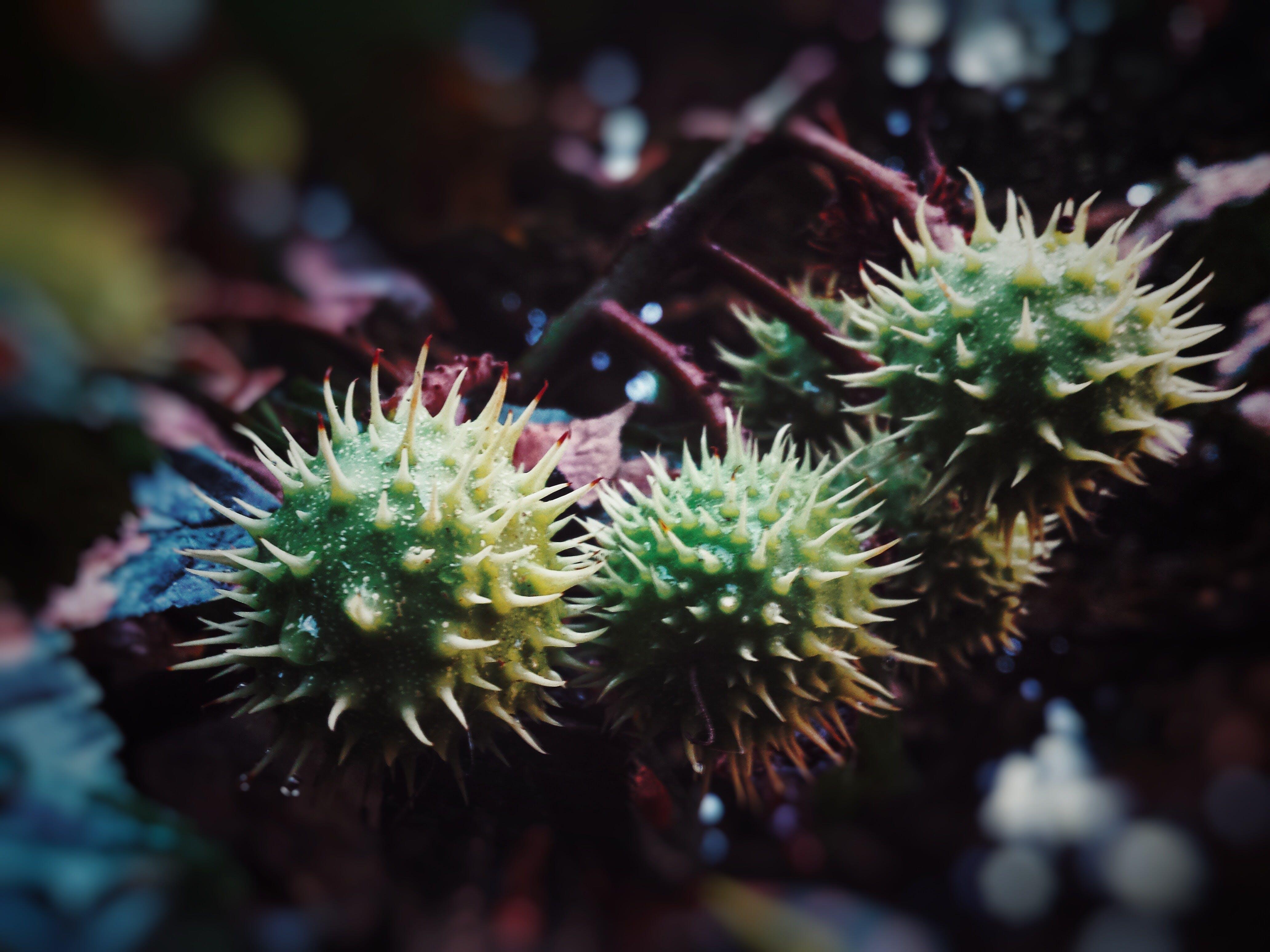 Δωρεάν στοκ φωτογραφιών με αγκαθωτός, άγρια καστανιά, αγριοκάστανο, βινιέτα