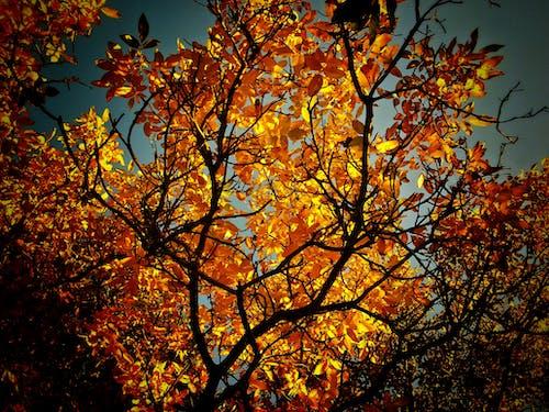 Fotobanka sbezplatnými fotkami na tému oranžová, teplé počasie, vlašský orech