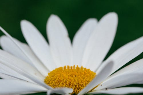 Free stock photo of closeup, daisy, floral