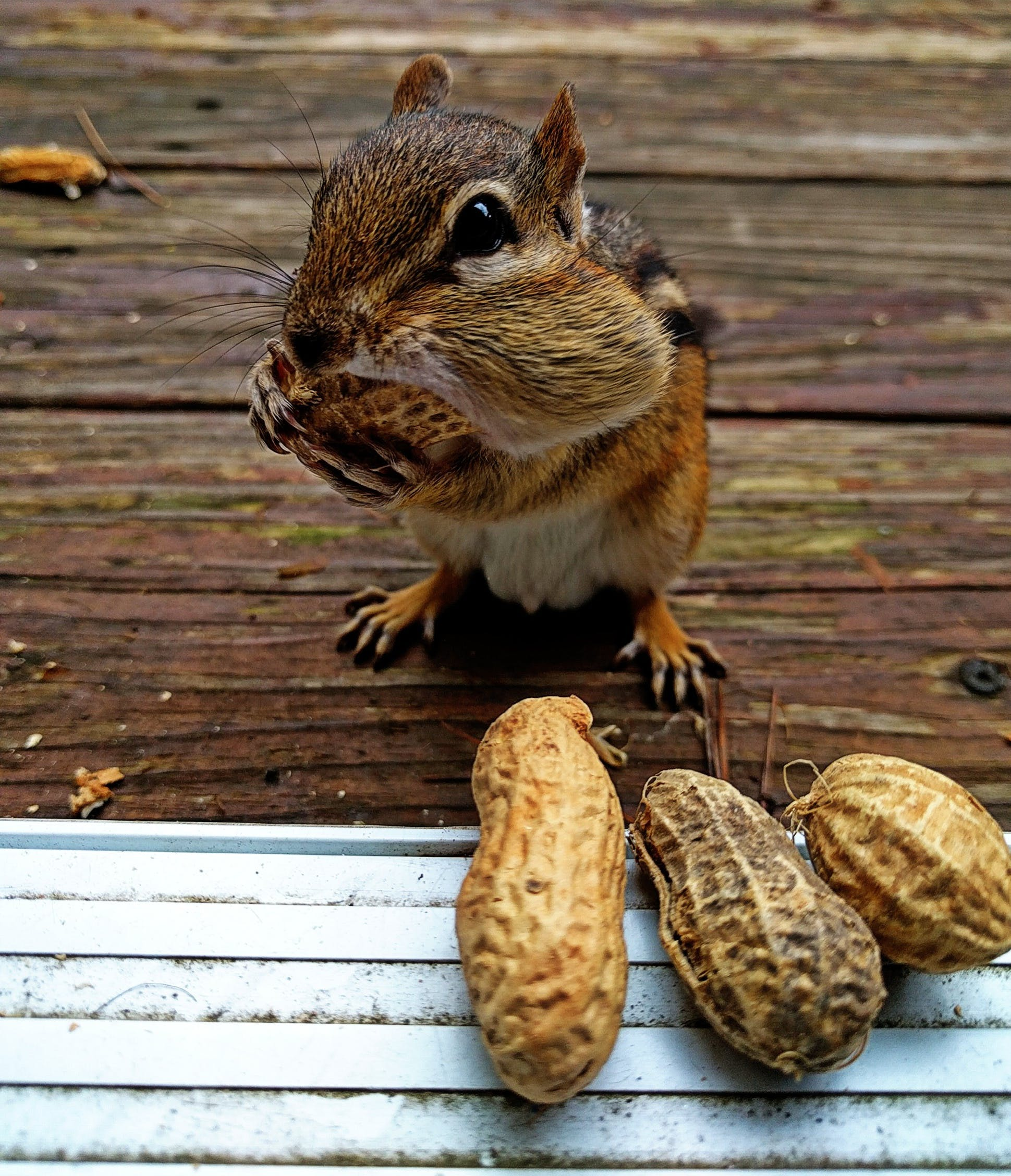 Free stock photo of chipmunk