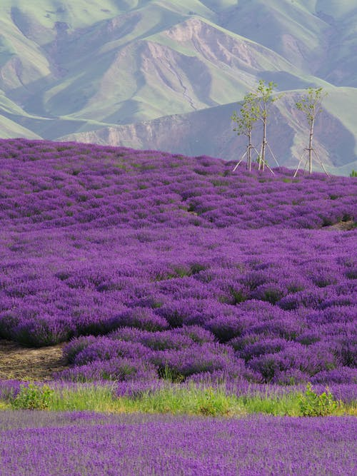 Picturesque landscape of vivid lavender fields surrounded by high green mountains on sunny day