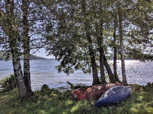 Free stock photo of birch tree, blue lake, environment