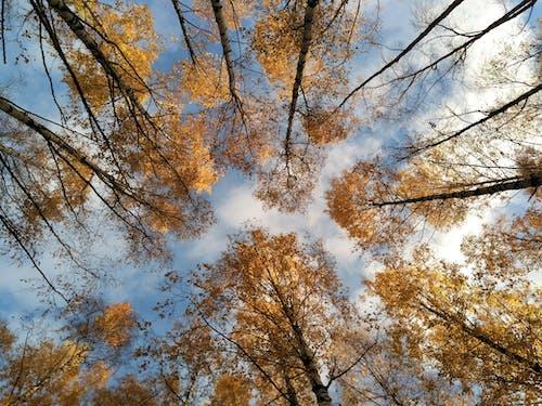 Free stock photo of autumn, birch tree, blue sky