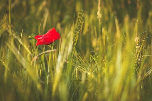 Gratis stockfoto met depth of field, klaprozen, moeder natuur