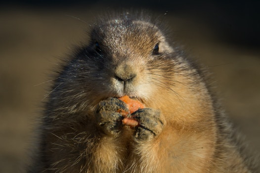 Free stock photo of eating, animal, carrot, prairie dog