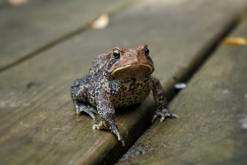 From above of attentive cold blooded frog with spotted skin and webbed feet sitting on dry wooden planks while looking at camera in daylight