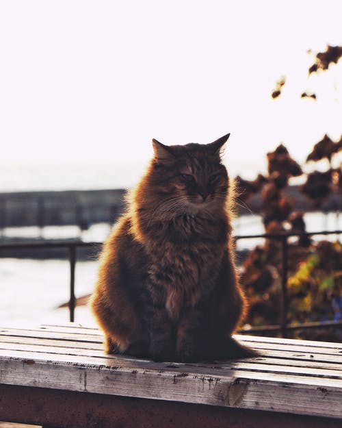 Cute fatty cat with brown fur resting on ribbed wooden surface near lake and fence behind autumn trees under serene sky in back lit while looking away