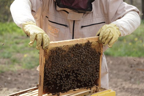 Beekeeper Holding a Swarm of Honey Bees in a Hive Frame