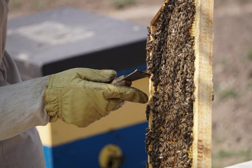 Close-Up Photo of Beekeeper Removing Honey Bees from the Hive Frame