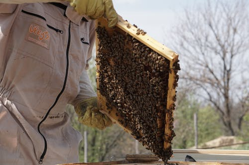 Close-Up Photo of Beekeeper Holding a Swarm of Honey Bees in a Hive Frame