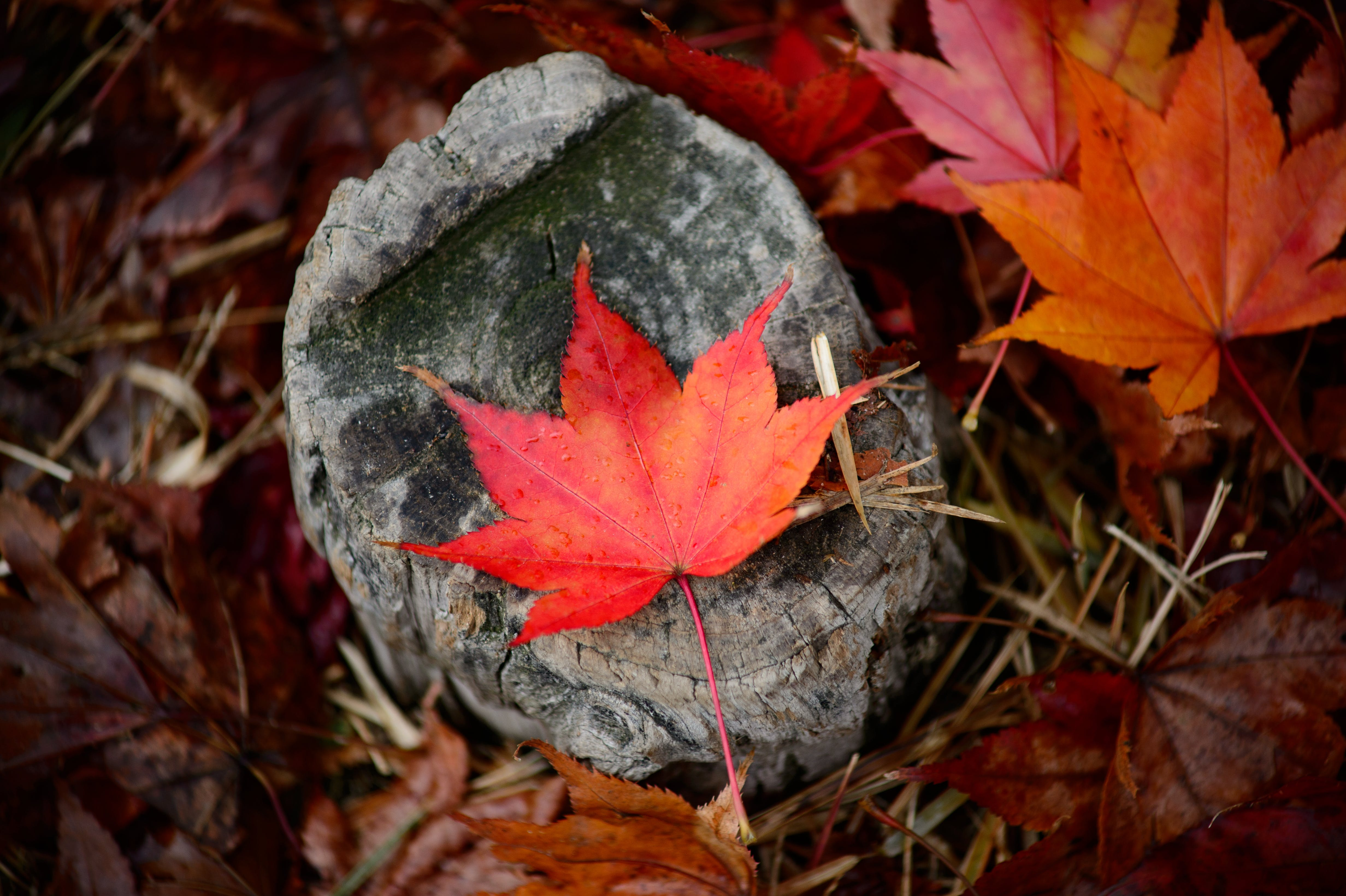 Red Leaf on Gray Tree Trunk