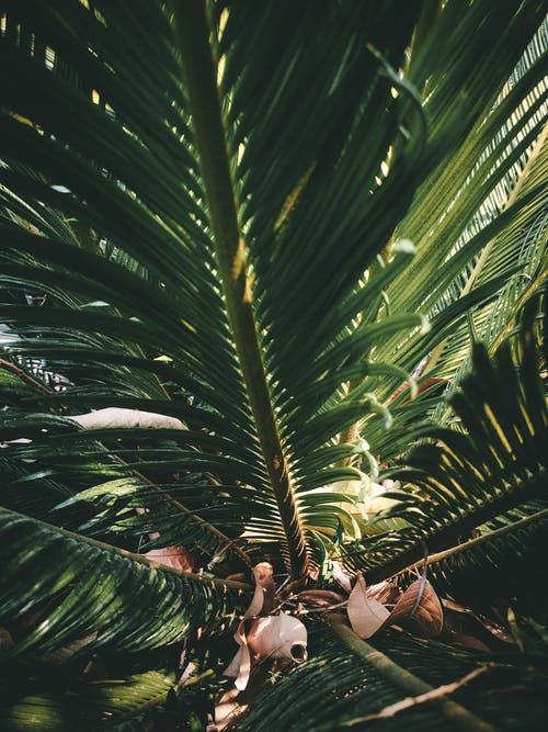 From below of growing palm tree with large green leaves with pointed edges on vertical stalk near small fragile faded leaves in daylight