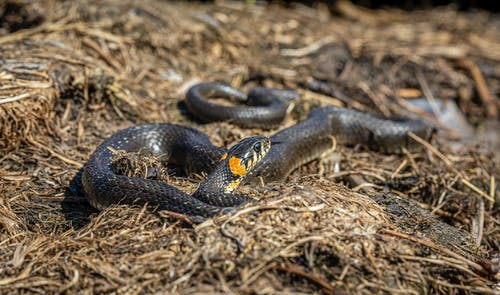 Close-Up Shot of a Grass Snake on the Ground