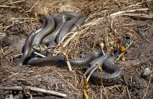 Close-Up Shot of a Grass Snakes on the Ground