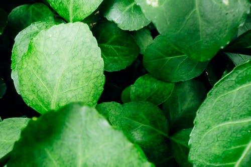 Green leaves of fresh plant in garden