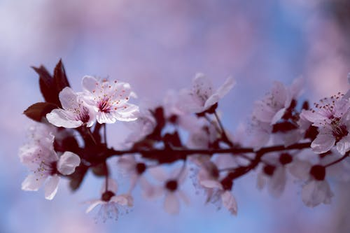 Blossoming cherry tree with tender white flowers