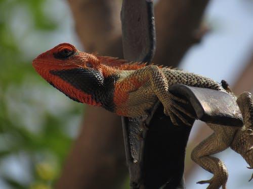 Free stock photo of animal photography, chameleon, reptile