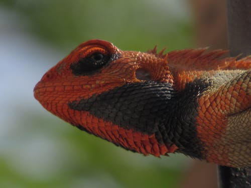 Free stock photo of animal portrait, chameleon, closeup