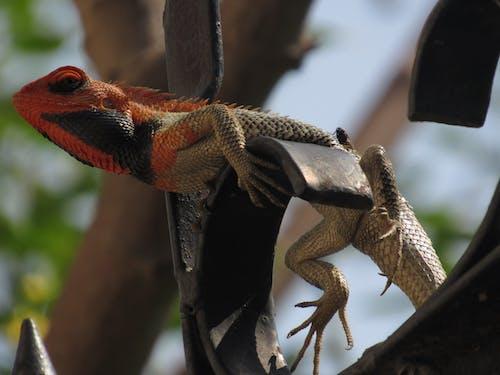 Free stock photo of chameleon, reptile, wildlife photography