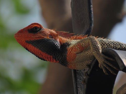 Free stock photo of chameleon