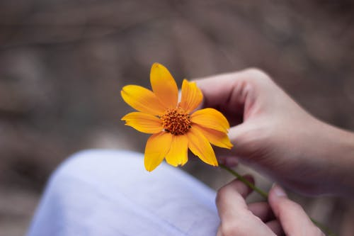 Crop faceless woman with yellow calendula flower in hands