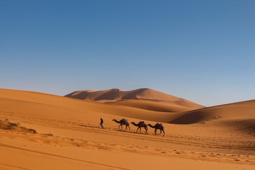 Faceless man leading caravan of camels in dry desert