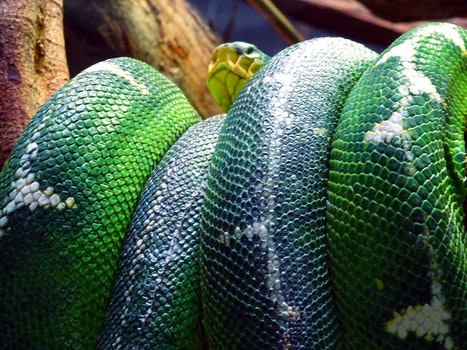 Free stock photo of pattern, animal, dangerous, reptile